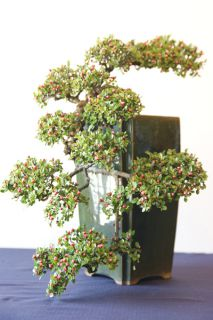 cotoneaster2